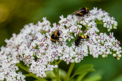 The bee sits on white flowers. Close up stock images