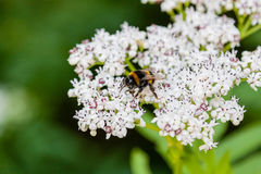 The bee sits on white flowers. Close up royalty free stock images