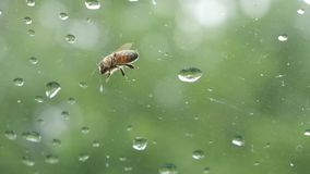 The bee sits on the window. Rain drop stock video
