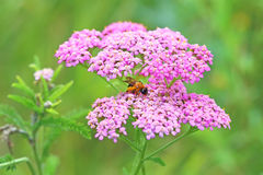 The bee sits on a yarrow flower Stock Images