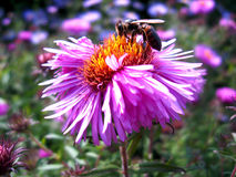 The bee sitting on the aster Stock Photo