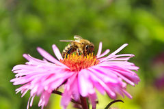 Bee sitting on the asters Stock Image