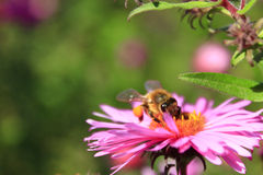 Bee sitting on the asters Royalty Free Stock Images
