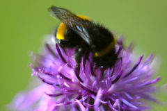 Bee sitting on beautiful flower of burdock in the meadow. Macro Stock Photo