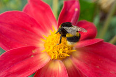 Bee sitting on beautiful red flower Royalty Free Stock Photo