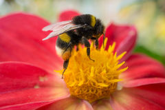 Bee sitting on beautiful red flower. Side view. macro shot Stock Photography