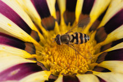 Bee sitting on blossoming flower Gazania afternoon Stock Photos