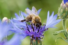 Bee sitting on the blue bachelor button flower. Cornflower on a sunny day royalty free stock photos