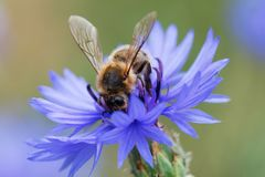 Bee sitting on the blue bachelor button flower. Cornflower on a sunny day royalty free stock image