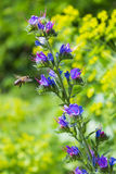 Bee sitting on a blue colors and collects flower nectar in the meadow on a sunny day Royalty Free Stock Images