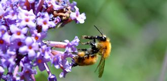 Bee sitting on butterfly bush flower in summer. Stock Image