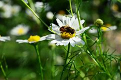 Bee sitting on a camomile Stock Photo