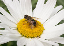 Bee sitting on camomile Stock Photos
