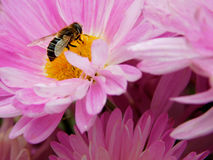 A bee sitting on a colourful flower. A bee picking up a nectar on a colourful flower on a sunny day stock photography