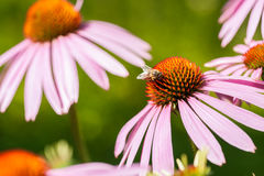 Bee sitting on Echinacea purpurea flower. Bee sitting on cone flower, Echinacea purpurea Stock Photo