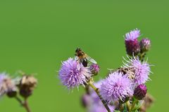 A bee on a flower Stock Images
