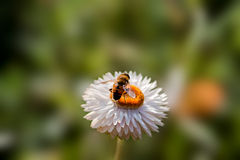 Honey bee. Bee sitting on a flower Royalty Free Stock Photos