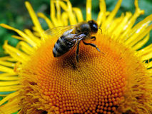 Bee sitting on a flower Stock Photography