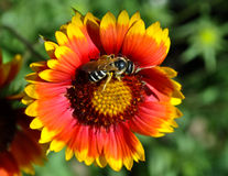 Bee sitting on a flower. Bright beautiful marigold flower, bee sits and eats pollen on a flower Royalty Free Stock Image