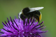 Bee sitting on flower of burdock. Bee sitting on beautiful flower of burdock Stock Photo
