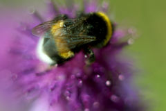 Bee sitting on flower of burdock in the meadow. Blur effect. Macro Stock Photo
