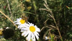 Bee sitting on a flower daisy close stock footage
