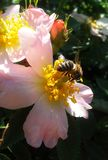 Bee on flower. Bee sitting on the flower of dogrose stock images