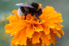 Bee sitting on flower of marigold. Bee sitting on beautiful flower of marigold Royalty Free Stock Photo