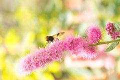 Bee sitting on a flower Royalty Free Stock Photos