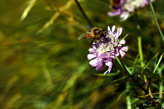 Bee sitting on a flower in summer Royalty Free Stock Photography