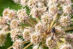 Bee sitting on a flower a yarrow Royalty Free Stock Photo