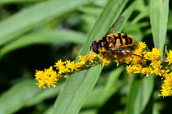 A bee sitting on a goldenrod Stock Photos