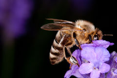 Bee sitting on lavender - apis mellifera Stock Photo