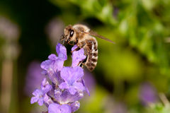 Bee sitting on lavender - apis mellifera Royalty Free Stock Photography