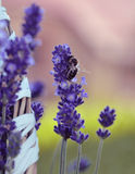 Bee sitting on the lavender flower. Royalty Free Stock Photos