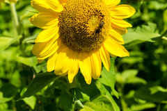 Bee sitting in the middle of a sunflower Royalty Free Stock Photos