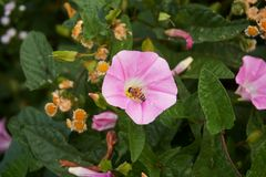 A bee sitting on a morning glory. A bee sitting on a morning glory taken largely stock photos