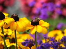 Bee sitting over yellow flower. Honey bee feeding in the beautiful Butchart Gardens in Vancouver Island Royalty Free Stock Photography