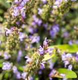 Bee sitting on the purple Salvia flower royalty free stock photo