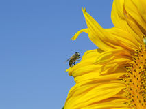Bee sitting on a sunflower Royalty Free Stock Photography