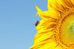 Bee sitting on a sunflower Royalty Free Stock Image