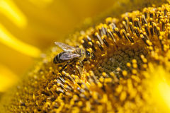 Bee sitting on a sunflower. And collects nectar Royalty Free Stock Photos