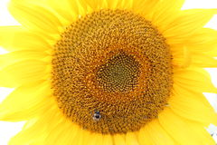Bee sitting on a sunflower Stock Images