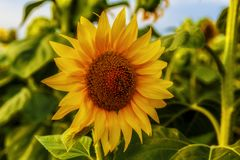 A bee sitting on a sunflower. Nature backdrop Stock Images