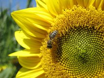 Bee is sitting on a sunflower Stock Photo