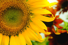 The bee sitting on sunflower. Selective and Soft focus with Sun rise flare effect Stock Image