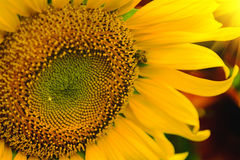 The bee sitting on sunflower. Selective and Soft focus with Sun rise flare effect Stock Photography