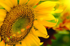 The bee sitting on sunflower. Selective and Soft focus with Sun rise flare effect Royalty Free Stock Photography