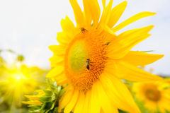 The bee sitting on sunflower. Selective and Soft focus with Sun rise flare effect Royalty Free Stock Photos