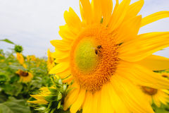 The bee sitting on sunflower. Selective and Soft focus with Sun rise flare effect Stock Photos